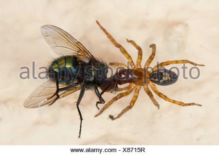 window lace weaver (Amaurobius fenestralis oder Amaurobius similis), female with caught green bottle fly, Germany - Stock Photo