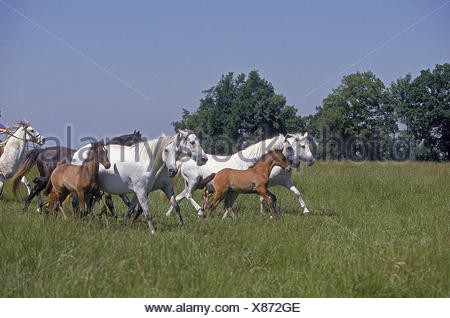LUSITANO HORSE, MARES WITH FOALS IN PASTURE - Stock Photo
