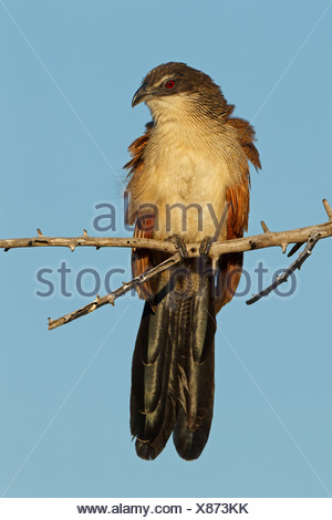White-browed Coucal (Centropus superciliosus burchelli) perching on twig - Stock Photo