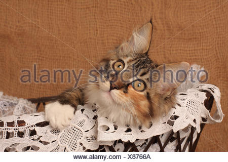 Norwegische Waldkatze, Norwegian forest cat - Stock Photo