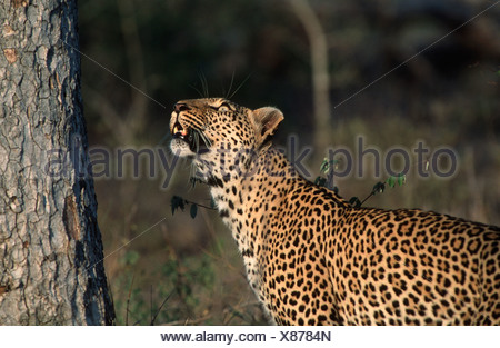 Leopard (Panthera pardus) Looking Up a Tree - Stock Photo
