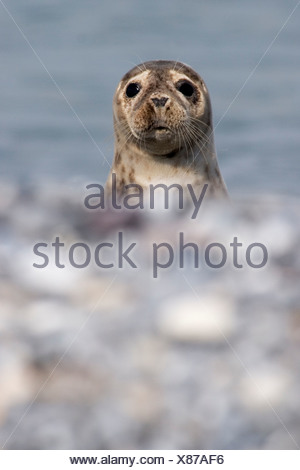 Young grey seal (Halichoerus grypus) looking curiously, Helgoland, Germany - Stock Photo