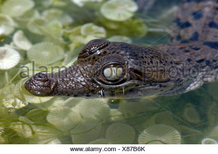 American crocodile (Crocodylus acutus) hatchling in the shallows mangrove swamp. Offshore Island Belize. - Stock Photo