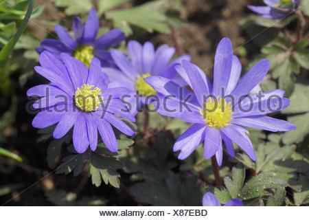 Anemone blanda, Grecian Windflower - Stock Photo