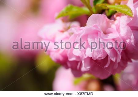 mandelblte - Stock Photo