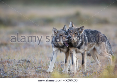 Wolf, Canis lupus, pups of Grant Creek pack play, alpine tundra, autumn, Denali National Park, Alaska, horizontal, wild - Stock Photo