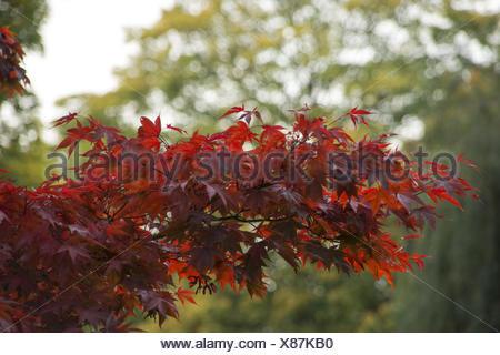 Autumnally maple tree - Stock Photo