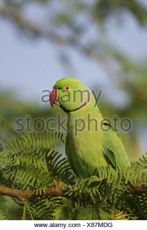 ROSE-RINGED PARAKEET (Psittacula krameri) Yala national park. Sri Lanka - Stock Photo
