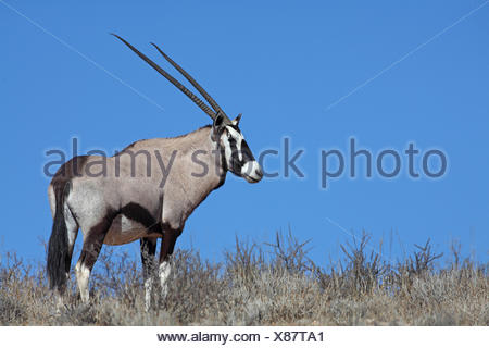 gemsbock, beisa (Oryx gazella), gemsbok stands on top of a dune in front of the blue sky, South Africa, Kgalagadi Transfrontier National Park - Stock Photo