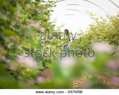 Working checking blackberry flowers in polytunnel on fruit farm - Stock Photo