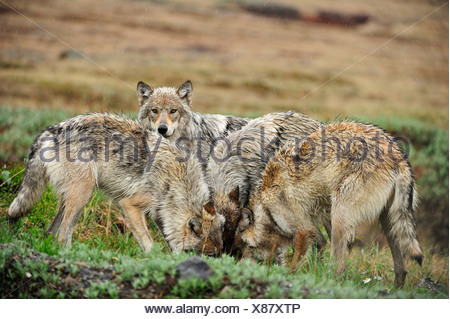 Pack of Wolves (Canis lupus) in the Arctic tundra - Stock Photo