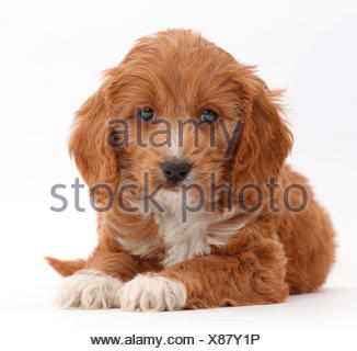 Red Toy Cockapoo puppy. - Stock Photo