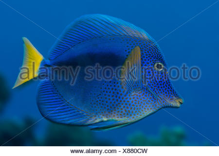 Yellowtail Tang, Zebrasoma xanthurum, Elphinstone Reef, Red Sea, Egypt - Stock Photo
