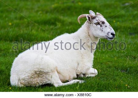 Sheep on a pasture, Yorkshire Dales, England, United Kingdom