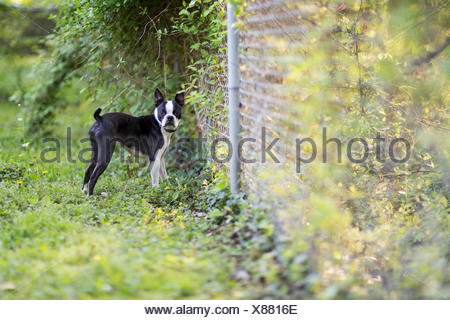 A young Boston Terrier plays in his backyard and looks at the camera. - Stock Photo
