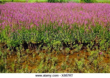 Purple-loosestrife (Lythrum salicaria) growing in a carp pond, Grossbellhofen, Middle Franconia, Bavaria, Germany, Europe - Stock Photo