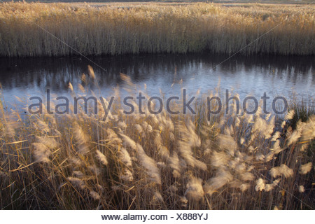 Common Reed (Phragmites australis) seedheads in reedbed habitat blowing in strong wind on site of former opencast coal mine St. - Stock Photo