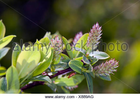 Blue willow, Blue Leaved Willow (Salix caesia), inflorescence, Germany - Stock Photo