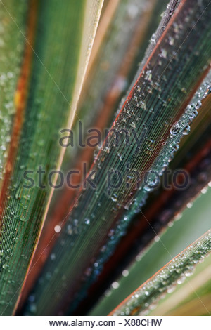 Cordyline australis 'Sundance', Cordyline - Stock Photo