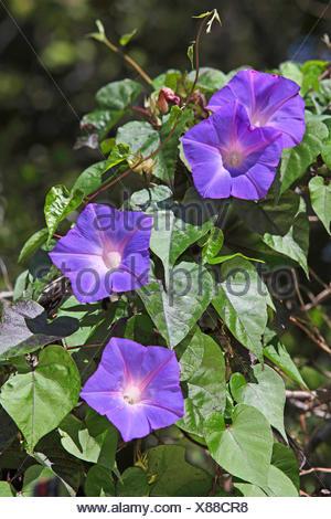 common morning glory, tall morning glory (Ipomoea purpurea), climbing plant with four flowers, USA, Florida - Stock Photo