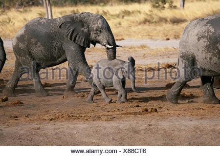 African Elephants with Calf Savuti Region Near Chobe National Park Botswana, Africa - Stock Photo