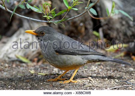 Olive thrush (Turdus olivaceus), standing on the ground, South Africa, Augrabies Falls National Park - Stock Photo