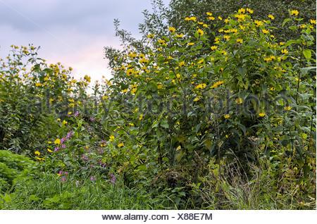Jerusalem artichoke - Stock Photo
