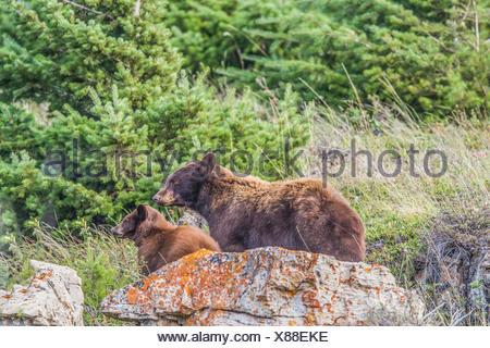 Black Bear (Ursus americanus) Female Black Bear, with cub,  on look out for danger, Waterton National Park, Albeta, Canada - Stock Photo