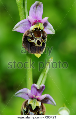 Late Spider-orchid, Ophrys holoserica, orchis, orchid, Orchidaceae, plant, plants, indigenous, protected, endangered, Jura, purp - Stock Photo