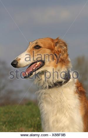 Borzoi, portrait - Stock Photo
