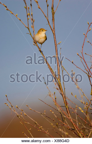 willow warbler (Phylloscopus trochilus), sitting on a twig of a willow, Germany - Stock Photo