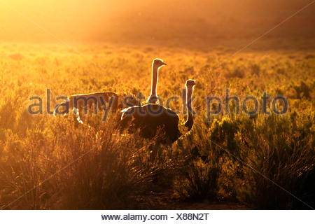 Two ostriches at sunset, South Africa - Stock Photo