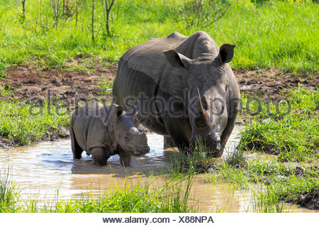 White Rhinoceros or Square-lipped rhinoceros (Ceratotherium simum), female and calf drinking at water hole - Stock Photo