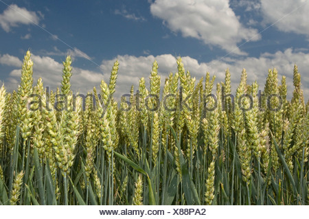 Wheat field (Poaceae triticum) - Stock Photo