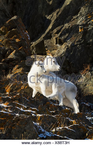 Dall sheep ewe stands with her lamb in the Windy Point area of the Chugach Mountains. Southcentral Alaska. Near Mile 106 of the Seward Highway. - Stock Photo