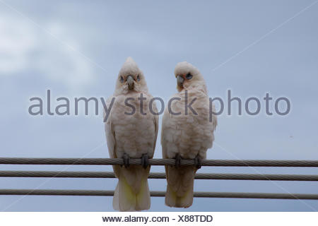 Low Angle View Of Little Corellas Perching On Cables Against Sky - Stock Photo