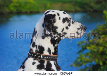 Dalmatian (Canis lupus f. familiaris), Dalmatian at shore - Stock Photo