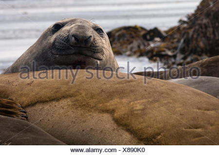 Southern elephant seal, Mirounga leonina. - Stock Photo
