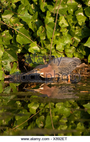 Green heron  (Butorides virescens), adult, Ambleside Park, West Vancouver, British Columbia. Stock Photo