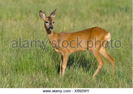doe, roe deer, capreolus capreolus, vechta, niedersachsen, germany - Stock Photo