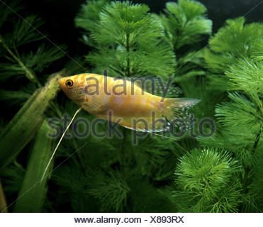 Gold Gourami, trichogaster trichopterus - Stock Photo