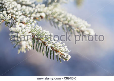 Close up of frost on branch and needles of Norway Spruce (Picea abies) - Stock Photo