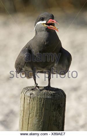Inca Tern (Larosterna inca), captive - Stock Photo