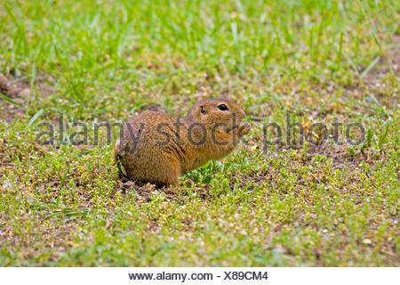 European ground squirrel, European suslik, European souslik (Citellus citellus, Spermophilus citellus), on the feed, Germany - Stock Photo