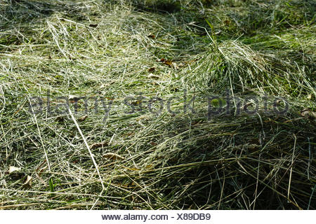 Frisch gemähtes Heu trocknet in der Sonne, Landwirtschaft, Freshly cut hay dries in the sun, Agriculture, agribusiness, crop, cu - Stock Photo