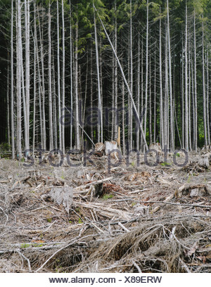 Recently clear cut rainforest, Hoh Rainforest, Olympic NF - Stock Photo