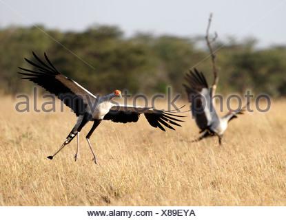 Secretary birds territory fight, Mara Naboisho, Kenya (Sagittarius serpentarius) - Stock Photo