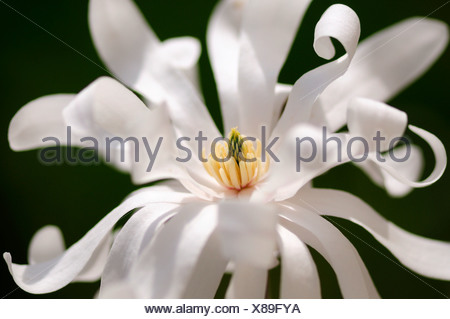 Star Magnolia (Magnolia stellata) - Stock Photo