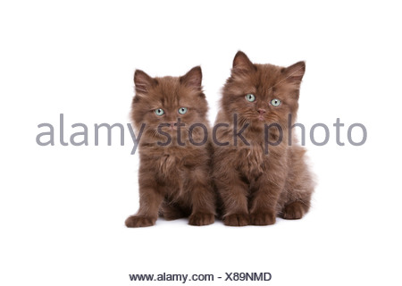 British kitten - Stock Photo