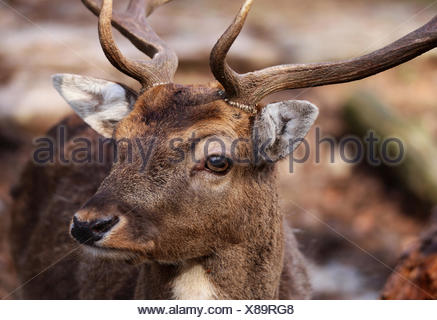 closeup of male fallow deer dama dama - Stock Photo